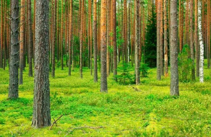 Mäntymetsästä saadaan metsäkemikaaleja
