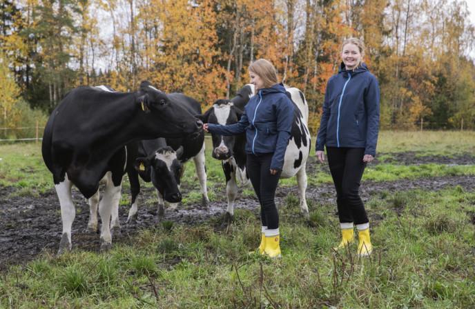 Teollisuuden Berner lehmiä laitumella rehutiimimme kanssa